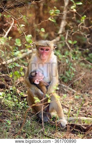 The Toque Macaque (macaca Sinica), Mother And Baby Sitting In The Bush.