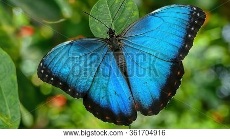 A Beautiful Huge Butterfly In The Jungle Of French Guyana In South America.