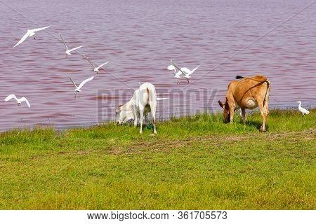 Domestic Animals At Lac Rose Or Retba Lake. Dakar. West Africa. Unesco World Heritage.