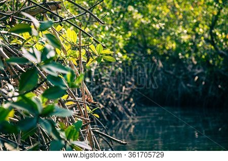 Gambia Mangroves. Kayaking In Green Mangrove Forest In Gambia. Africa Natural Landscape.