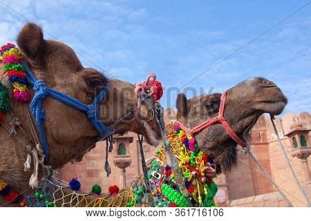 Beautiful Decorated Dromedary Camel Close Up On Bikaner Camel Festival In Rajasthan, India