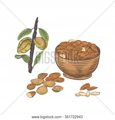 Almonds In Bowl And On Branch Vector Sketch. Almond Kernels And Nutshells Isolated On White Backgrou