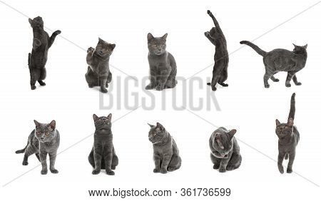 Collage Of British Shorthair Cat On White Background. Lovely Pet