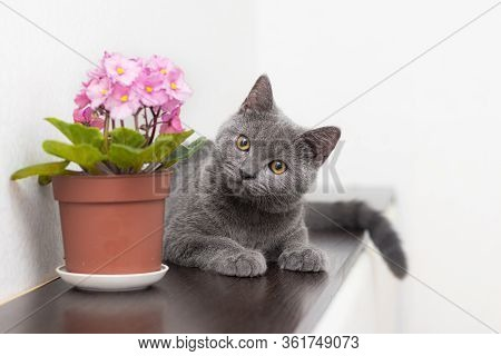 Cat And Home Flower In A Pot . Article About Animals And Home Flowers. Harm Of Home Flowers For Cats