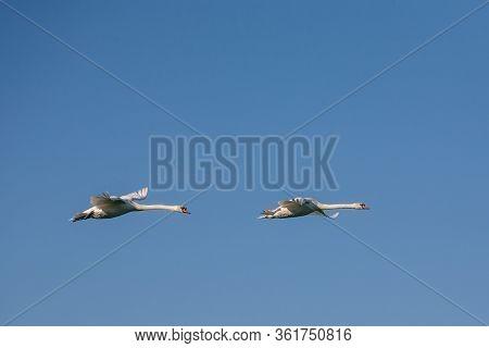 Two Swans In Flight