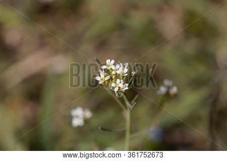 Flower Of A Mouse-ear Cress, Arabidopsis Thaliana.