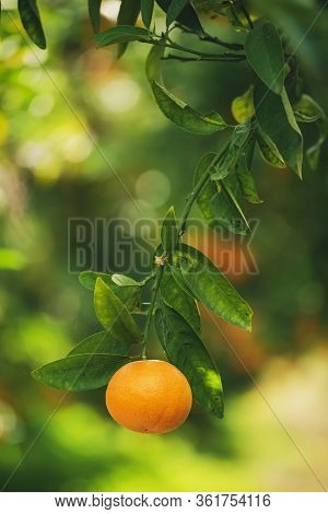 Tangerine Sunny Garden With Green Leaves And Ripe Single Fruit. Mandarin Orchard With Ripening Citru
