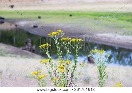 Yellow Wild Flowers In Bushland In Rural Australia Near A Creek