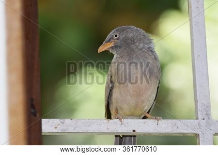 Side View Of Jungle Babbler Bird, Turdoides Striata Also Known As Seven Sisters Perching On Window G