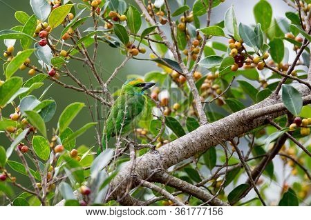 Adult Black-browed Barbet, Uprisen Angle View, Side Shot, In The Morning Perching And Forage On The