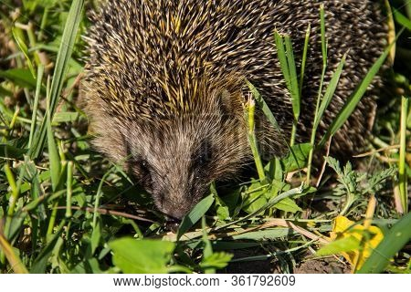 Young Prickly Hedgehog In A Green Grass