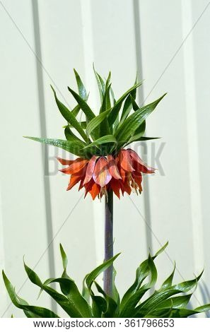 Fritillaria imperialis (crown imperial, imperial fritillary or Kaiser's crown), also called reverse tulip