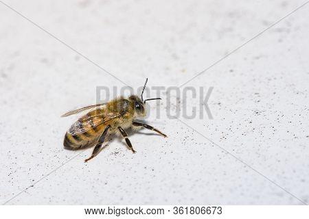 Apis Mellifera, European Or Western Honey Bee, Bee On A White Background.