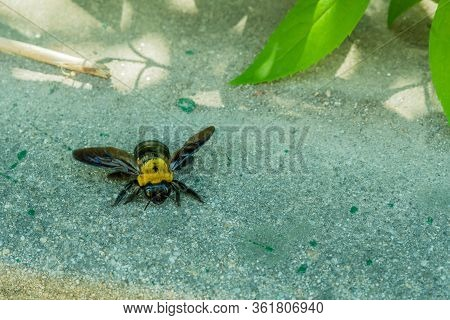 Closeup Of Large Bumble Bee With Broken Wing On Concrete Near Green Leaf.