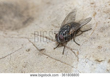 Blow Fly, Carrion Fly, Bluebottles, Greenbottles Fly On Stone