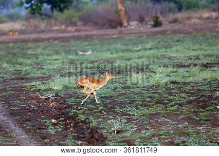 The Impala (aepyceros Melampus) Antelope Runs Away From Cars In The Zambian Area. Typical Behavior O