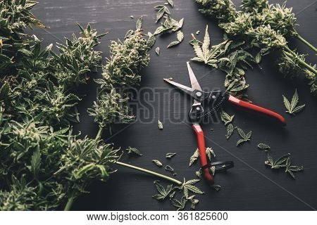 Growers Trim Their Pot Buds Before Drying. The Sugar Leaves On Buds. Trim Before Drying.