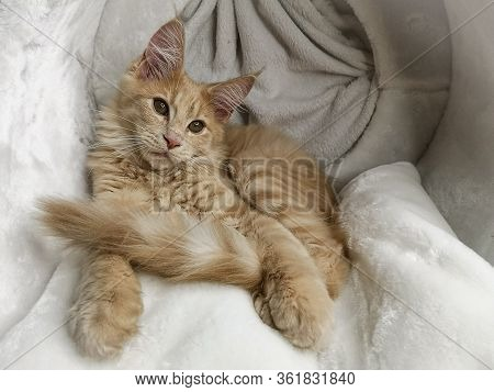 Playful Ginger Beige Maine Coon Cat Kitten Lying On A Fluffy Texture Front View
