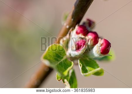 Detail Of Isolated Flower Buds Of Fruit Apple Tree. Apple Tree In Bloom  With Rose Petals. Branch Of