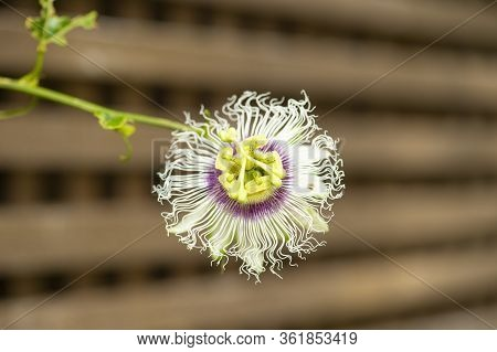 Isolated Single Passion Fruit Or Passiflora Edulis, Flower Against Blurred Brown Background With Sta