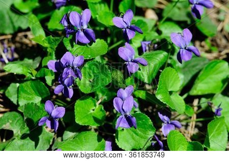 Viola Odorata. Viola Is A Genus Of Flowering Plants In The Violet Family Violaceae.