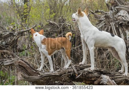 Basenji With Cross-breed Of Hunting And Northern Dogs Standing On A Root Of Fallen Tree And Watching