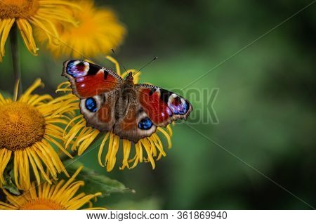 Colourful European Peacock Butterfly On The Yellow Flower, Green Background, Beautiful Brown Wings