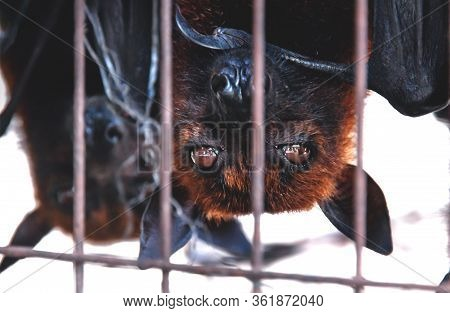 Close Up Of Flying Foxes Bats Upside Down In A Cage At A Market For Food And Eating, Sumatra, Indone