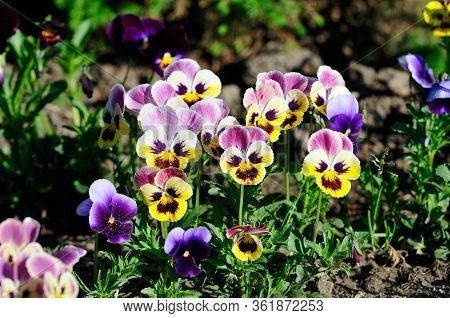 Viola Is A Genus Of Flowering Plants In The Violet Family Violaceae. The Garden Pansy Is A Type Of L