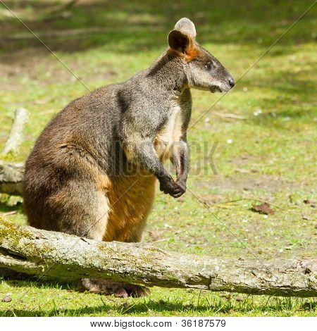 Swamp Wallaby In A Dutch Zoo