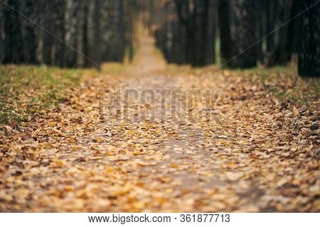 Autumn Forest Footpath With Fallen Leaves. Beautiful Birch Alley. Calm Weather. No People. Season Ch