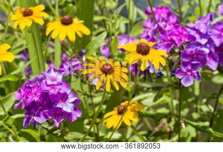 Bright yellow Black-eyed Susan flowers inthe middle of purple Phlox flower clusters