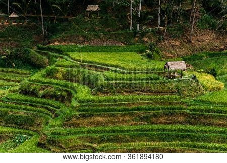 Rice Terraces In Bali Indonesia. Terrace Rice Fields, Bali, Indonesia. Green Cascade Rice Field Plan
