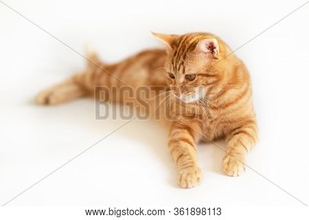 Beautiful young playful ginger cat looking down at copyspace. Adorable orange pet. Cute red kitten with classic marble pattern lies isolated on white background.
