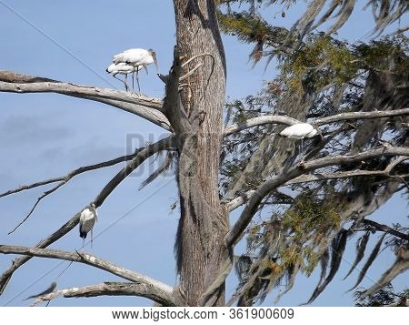 Threatened Wood Storks Are Standing In Trees With Spanish Moss At Sweetwater Wetlands Park, Gainesvi