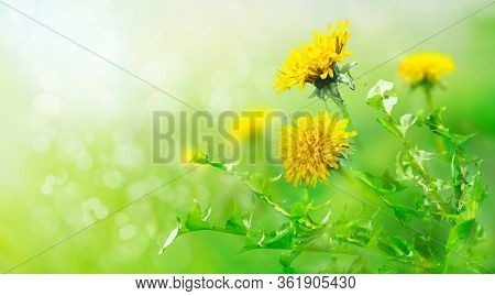 The field with yellow dandelions. Closeup of a green meadow. Spring in the mountains. Strong morning sun. Nature background.