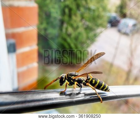 Hornet On The Spoon At The Window. Close Up.
