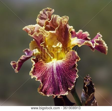 A Beautiful Burgundy And Golden Iris Flower With Lacy Petals And Yellow Beard.