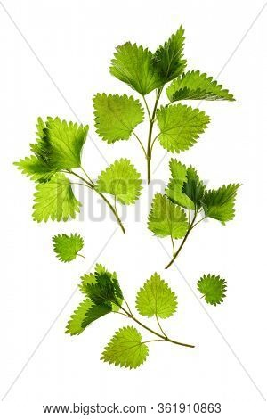 Stinging nettle (Urtica dioica). Fresh green leaves on white background.