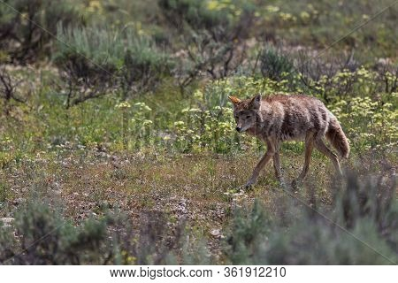 A Fluffy Coyote Walking Through A Field With Wildflowers And Weeds At Grand Teton National Park, Wyo