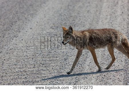 A Fluffy Coyote Walking Across A Dirt And Gravel Road In The Sunshine Grand Teton National Park, Wyo