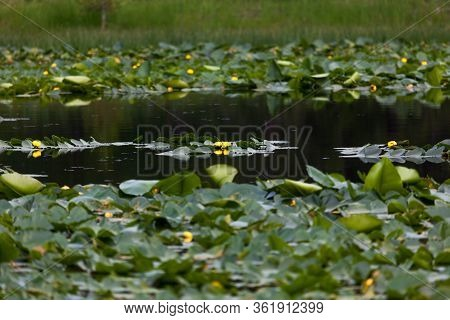 A Lily Pond With Green Pads And Yellow Flowers And Tiny Blue Dragonflies Buzzing The Surface Of The