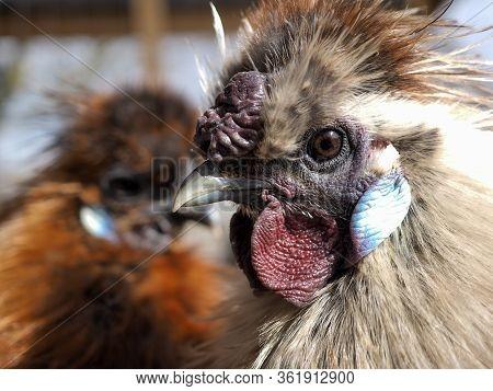 Bright Unusual And Exotic Bird. Chinese Silk Chicken, Portrait