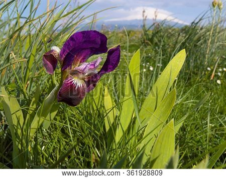 colorful sicilian iris flower in Etna Park of Sicily