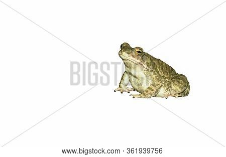 Close Up Of A Common Toad Isolated On White Background,side View