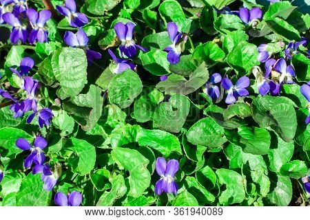 Violets. Beautiful First Spring Flowers Bloom In The Sunlight. Spring Flowers. Spring Time. The Firs