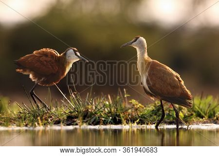The African Jacana (actophilornis Africanus) In The Shallow Lagoon. A Pair Of Jacana Stand In Shallo