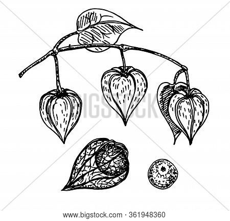 Physalis Vector Sketch. Physalis Plant. Ripe Berries Of Physalis Isolated On White Background. Medic