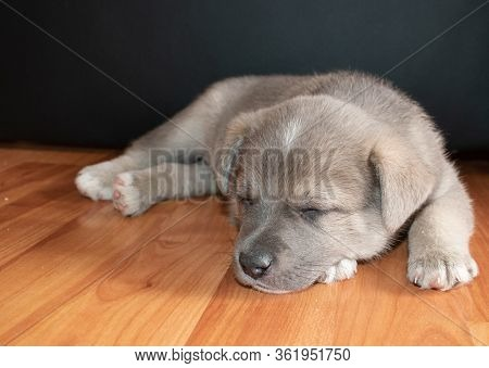 Grey Puppy With Blue Eyes. This Is A Very Loving And Wonderful Family Pet. He Loves To Play And Cudd
