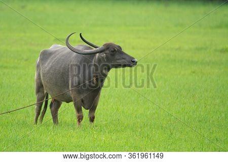 A Large Water Buffalo (bubalus Bubalis), Also Called The Domestic Water Buffalo, Standing In A Lush